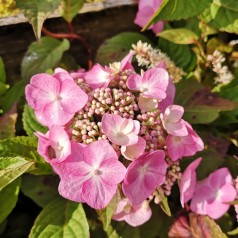 Hydrangea macrophylla Twist and Shout - Hortensia Endless Summer Rosa/Lillablå