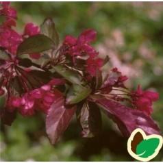 Malus sieboldii Scarlet - Japansk Prydæble / 175-200 cm.