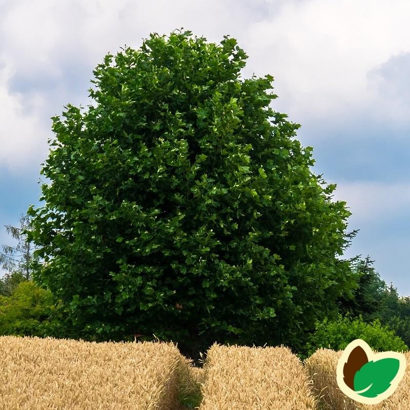 Acer pseudoplatanus - Ahorn - Ær / 200-250 cm.
