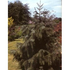 Picea breweriana - Sørgegran - 30-40 cm.