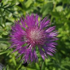 Centaurea dealbata / Knopurt