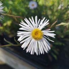 Erigeron hybrid Sommerneuschnee / Bakkestjerne