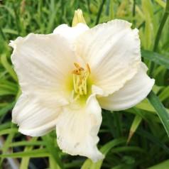Hemerocallis hybrid Deicer / Daglilje