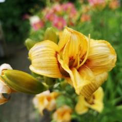 Hemerocallis hybrid Jason Salter / Daglilje