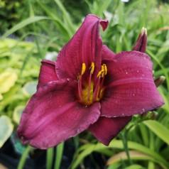 Hemerocallis hybrid Purple Rain - Daglilje