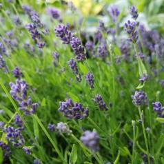 Lavandula angustifolia Essence Purple / Lavendel
