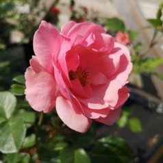 Rose Egeskov - Slotsrose
