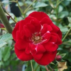 Rose Intense Cover - Bunddække rose Towne- og Country