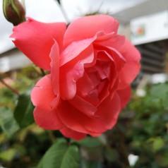 Rose Riberhus - Slotsrose