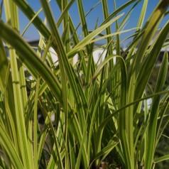 Carex morrowii Vanilla Ice / Japansk Star