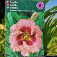 Hemerocallis hybrid Daring Deception - Daglilje