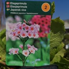 Primula japonica Appleblossom / Etageprimula