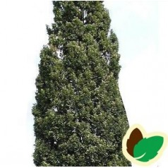 Quercus robur Fastigiata Koster / Pyramideeg 100-125 cm.