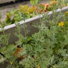 Malurt / Artemisia absinthium