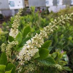 Clethra alnifolia Hummingbird - konvalbusk
