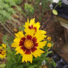 Coreopsis grandiflora Sun Kiss / Skønhedsøje