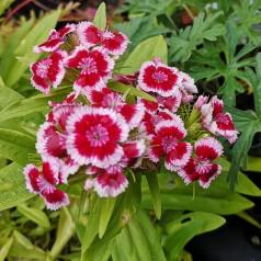 Dianthus barbatus Red Picotee - Studenternellike