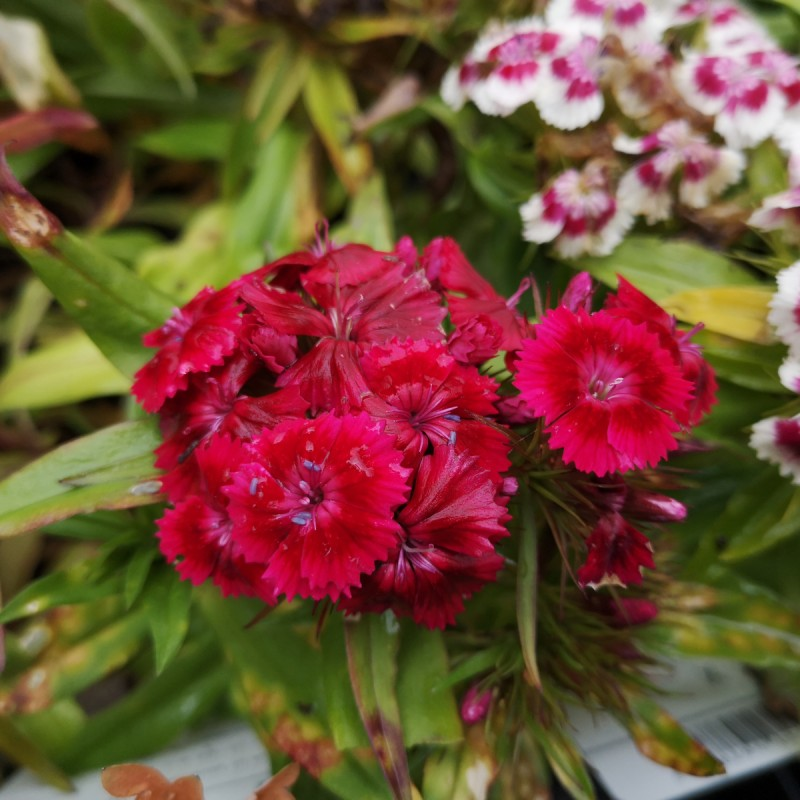 Dianthus barbatus Red Rose Bicolor - Studenternellike