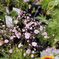 Gypsophila repens Rosenschleier / Stenhøjsbrudeslør