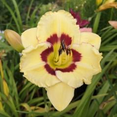 Hemerocallis hybrid El Desperado / Daglilje