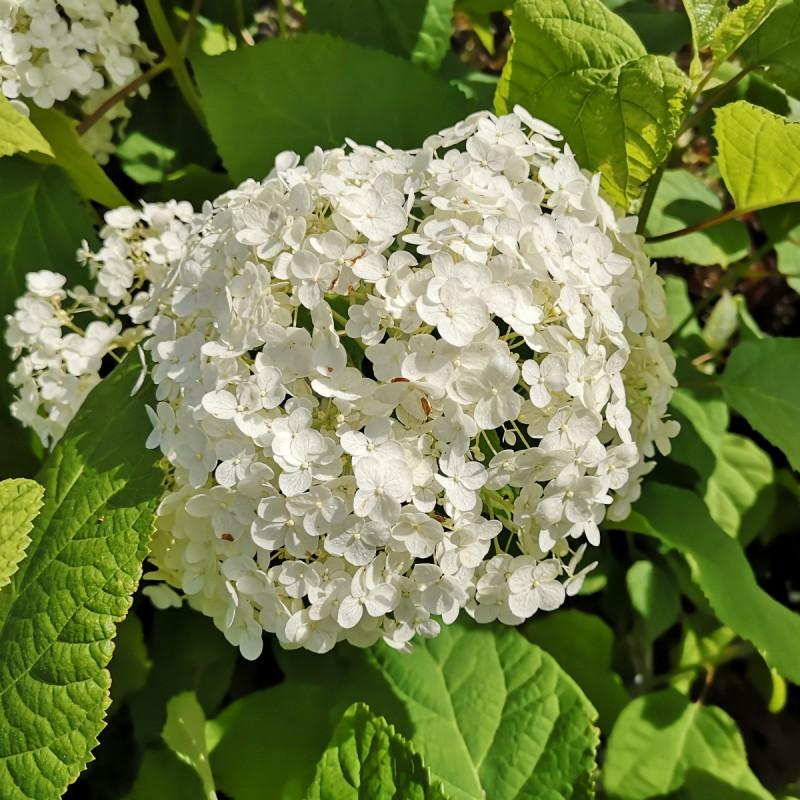 Hydrangea arborescens Annabelle / Træagtig Hortensia
