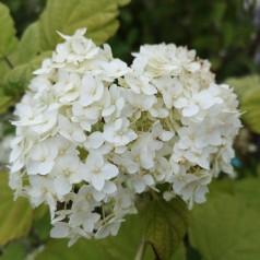 Hydrangea arborescens Grandiflora / Træagtig Hortensia