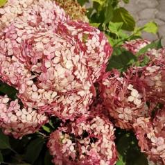 Hydrangea arborescens Ruby Annabelle - Træagtig Hortensia