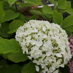 Hydrangea arborescens Strong Annabelle - Træagtig Hortensia