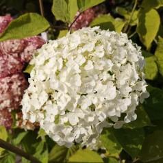 Hydrangea arborescens Strong Annabelle - Træagtig Hortensia
