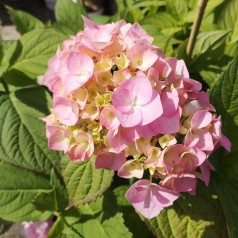 Hydrangea macrophylla Bouquet Rose / Hortensia