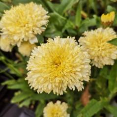 Leucanthemum superbum Luna® - Kæmpemargerit