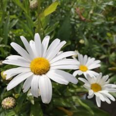 Leucanthemum superbum Sølvprinsessen - Kæmpemargerit
