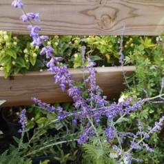 Perovskia atriplicifolia Blue Spire - Russisk salvie