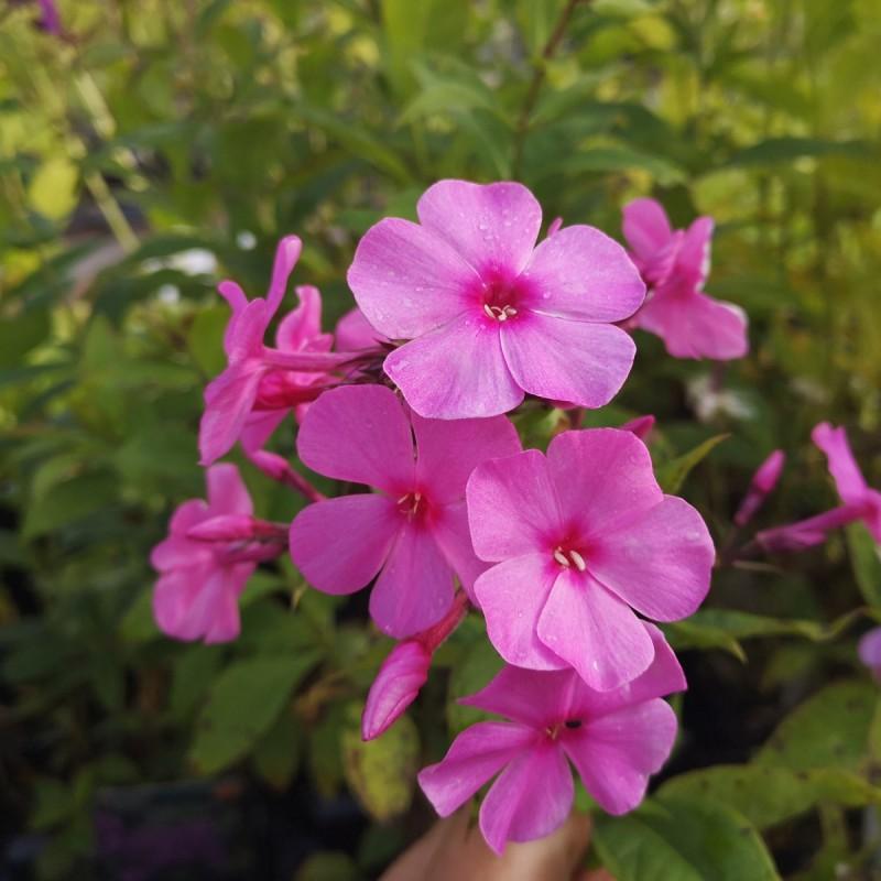 Phlox paniculata Flame Pink / Høstfloks