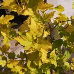 Physocarpus opulifolius Dart's Gold / Gul Blærespiræa