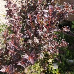 Physocarpus opulifolius Little Devil - Rød Blærespiræa