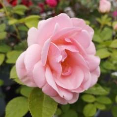 Rose Astrid Lindgren - Buketrose