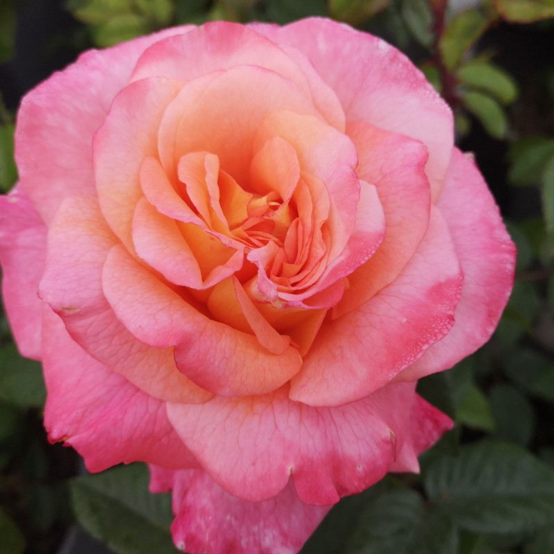 Rose Augusta Louise®/ Storblomstret Rose - Barrods