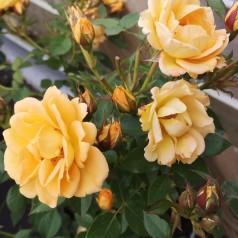 Rose Flaming Cover - Bunddække rose Towne- og Country