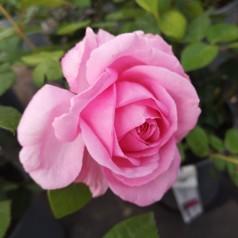 Rose Ghita Renaissance