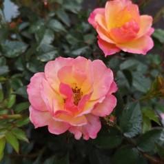 Rose Linnaeus