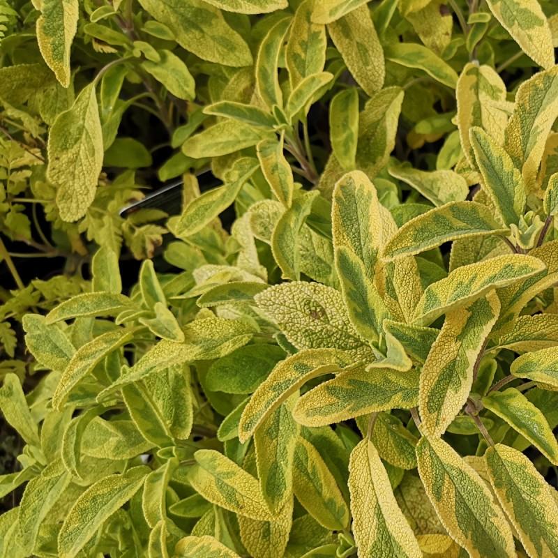Salvie, Gulrandet / Salvia officinalis Aurea