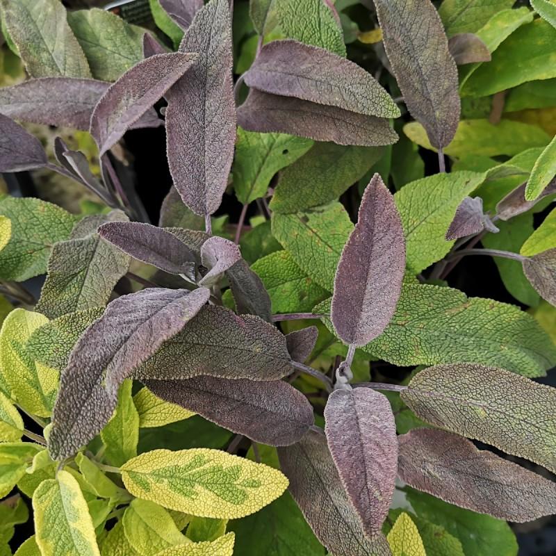 Rødbladet Salvie - Salvia officinalis Purpurascens