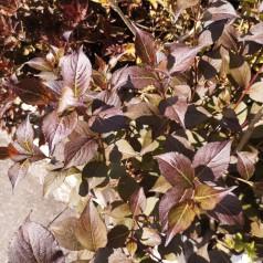 Weigela florida Purpurea - Rødbladet Klokkebusk