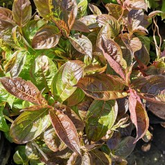 Weigela florida Wings of Fire