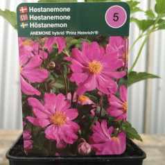 Anemone hybrid Prinz Heinrich - Anemone