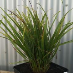 Calamagrostis brachystrica / Koreansk Haveandrør
