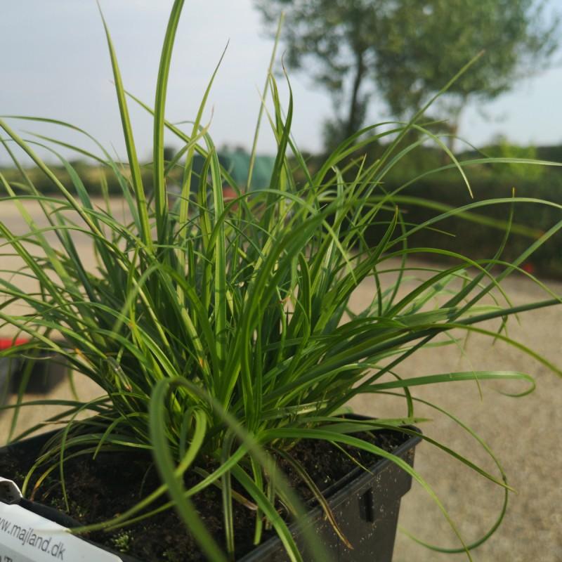 Carex caryophylla The Beatles / Skov Star