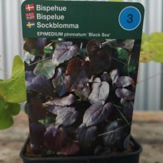 Epimedium pinnnatum Black Sea / Bispehue