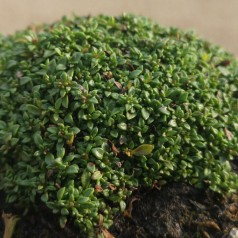 Thymus praecox Elfin - Prydtimian